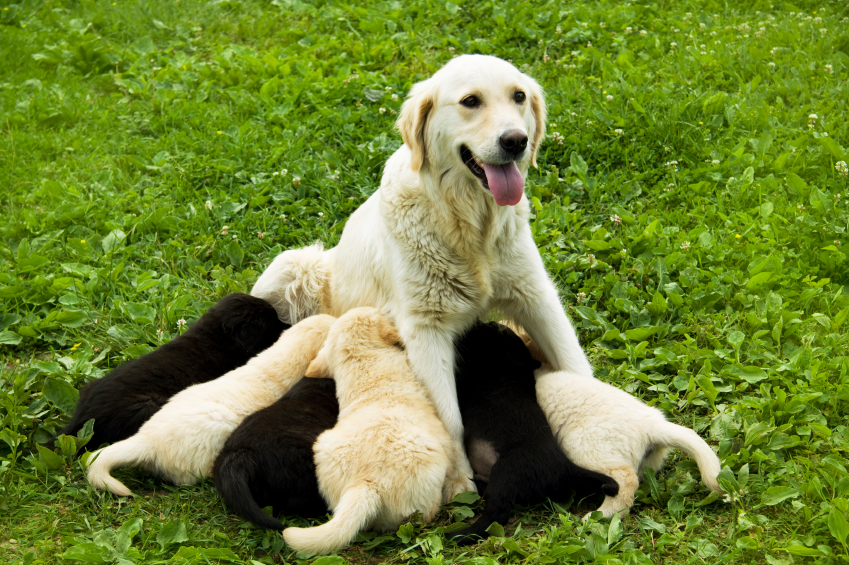 Canine Brucellosis